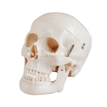 Manufacturer for Human Heart Model Deluxe Life-Size Skull Style D supply to Liechtenstein Manufacturers